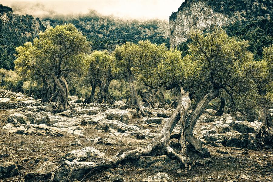 Olivenhain in Fornalutx (Mallorca)