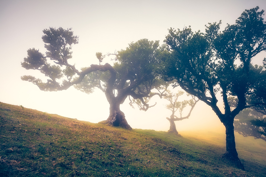 Nebelwald Fanal (Madeira / Portugal)